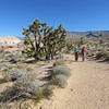 Sue and Pene walk by a beautiful cluster of Joshua trees at the Falling Man petroglyph site.