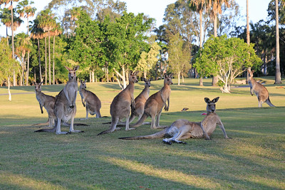 SanctuaryCove_KangarooResting_9655