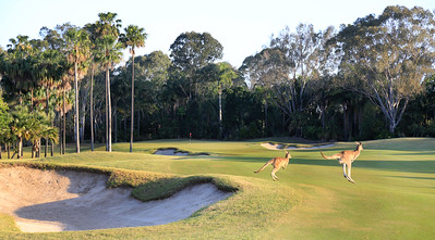 SanctuaryCovePalms_17BunkerKangaroo_9681