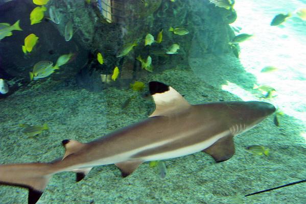 Shark - Honolulu Hawaii
