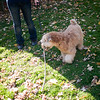 Of course Fergus found a beloved stick to carry around the yard