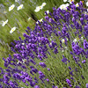 Perfectly Clear-<br />  The picture is not only more color vibrant, the lavender is properly purple.