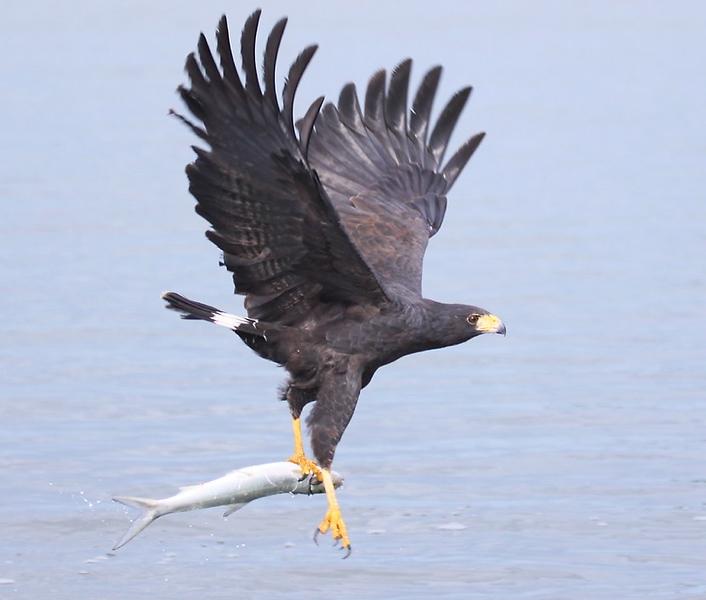 Common Black Hawk - Mexico