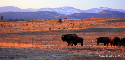 American Buffalo, Cerillos, NM