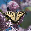 Lilacs and Yellow Swallowtail Butterflies, sure signs that summer has arrived.