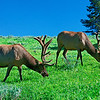 Yellowstone Elk Brothers