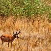 Pronghorn Antelope - Antelope Island, Salt Lake