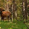 Female Elk - Signal Mountain