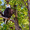 Bald Eagle - Snake River
