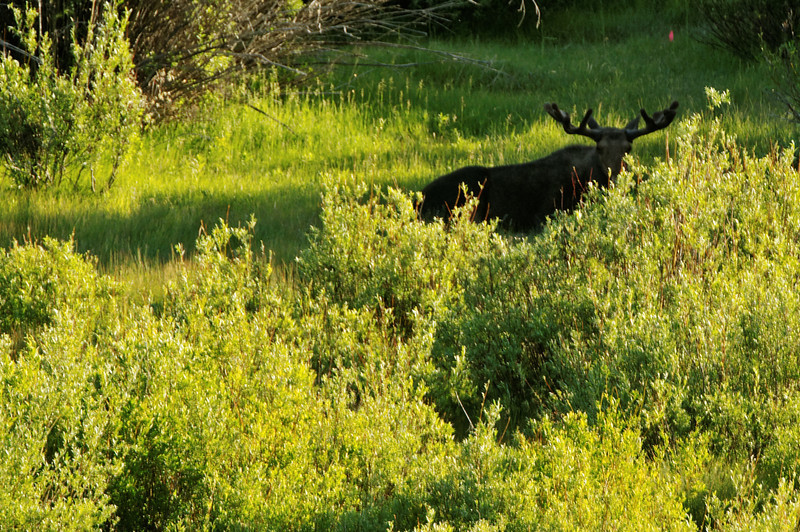 Male Moose Cooling It