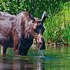 Female Moose and Moose Drool - Tetons