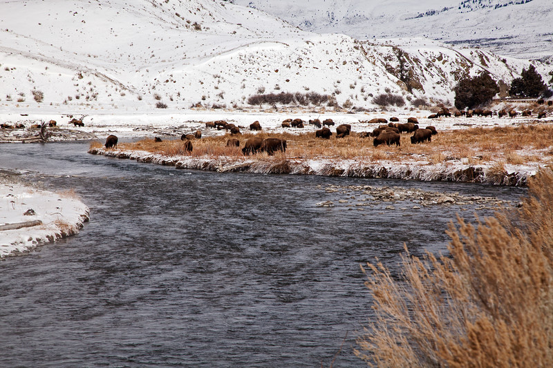 Bison Along the Yellowstone River  # 7978