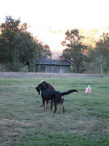 Maverick and Riley play tug-o-war.