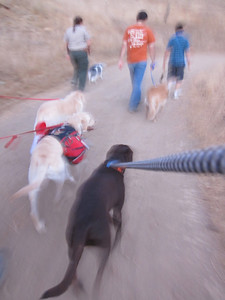 Riley, Hambone and Blaze movin' on down the trail. Notice the tension on Riley's leash.