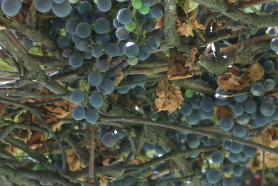 Grape harvest 2013