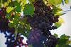 Grapes on the Vine, Corvallis, Oregon, Vineyard