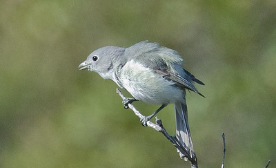 Gray Vireo April 7, 2012 Kitchen Creek