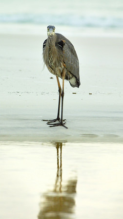 The Great Blue Heron, Ardea herodias, is a masterpiece of grace and architecture.  The herons in this video glide  over the beaches of South Walton, FL, and settle down at Grayton, Seaside, Watercolor and Seagrove.  They fish at twilight, when most of us have left the beach, and they nest in the tall trees of Western Lake.  There is one heron included from The Olympic Peninsula, the elegant bird vertically lifting off in the fog from Shine State Park.  Be very quiet and watch... all images c.janicesanborn.com www.janicesanborn.com