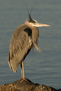 Great Blue Heron 0165