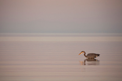 Great Blue Heron 0145
