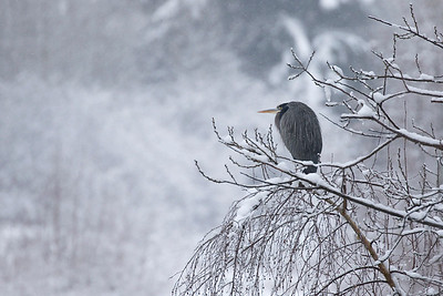 Great Blue Heron 0139