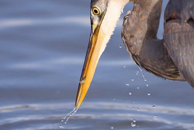 Heron 033