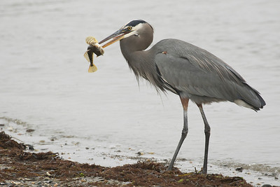 Great Blue Heron 0155