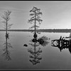 Cypress Trees - Black and White 2