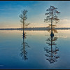 Cypress Trees - 4