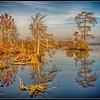 Cypress Trees on Lake Drummond - 1