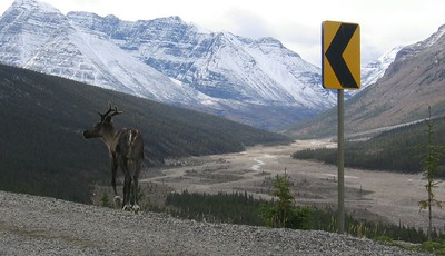 Young Caribou Next to Alaska Highway, Muncho Lake