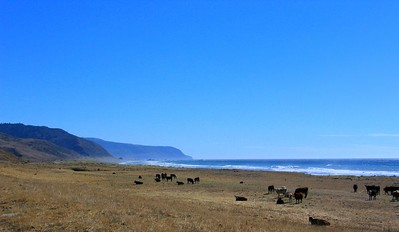 Cows in Paradise, Lost Coast Highway