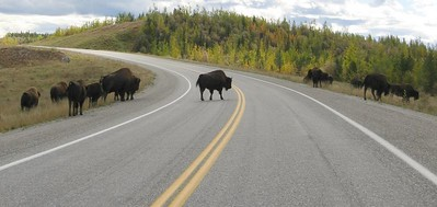 Buffalo on the Alaska Highway, British Columbia. These guys were just plodding along the road, without a care in the world. They didn't move an inch to get out of the way of my RV, so I had to stop and wait for them to cross. At one point, my RV was surrounded by buffalo -- it was an amazing experience.