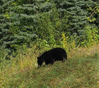 A Blackbear Eating Berries Along the Alaska Highway