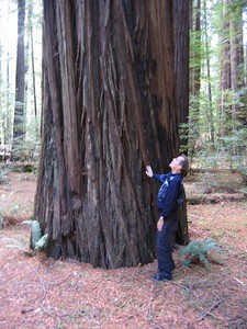 A Giant Redwood, Lost Coast Highway, California