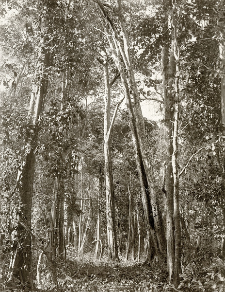 """An ungirdled teak tree (in centre.)"""
