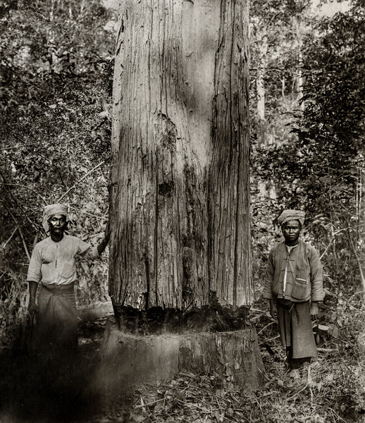 """A girdled teak tree showing the ""girdle"" or ring a 2 Tawgoungs near by."""