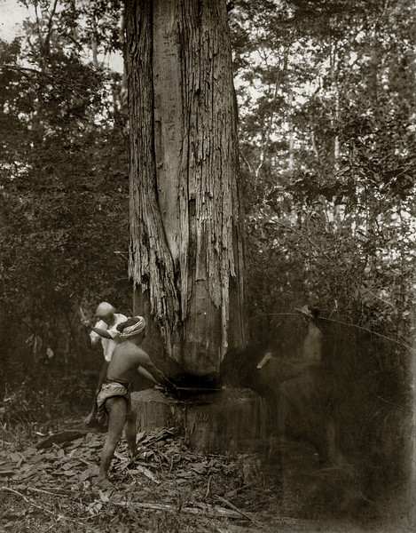 """Felling a dry girdled teak tree."""