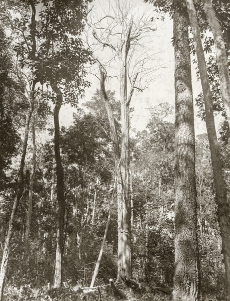 """A girdled teak tree"""