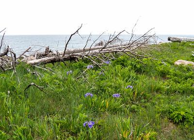 Wild iris and driftwood