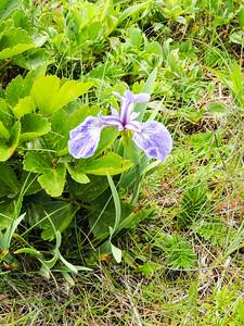 Wild Iris/Blue Flag