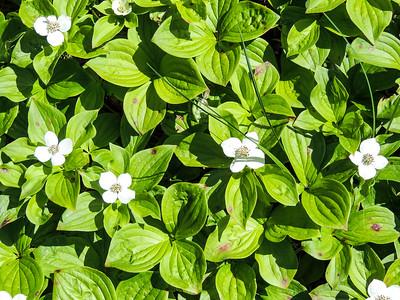 Crackerberry Flowers