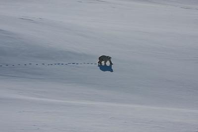 Polar Bear in East Greenland