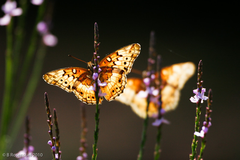 """Illuminated"", Variagated Fritillary<br /> Bob Jones Nature Center and Preserve, Southlake, TX"