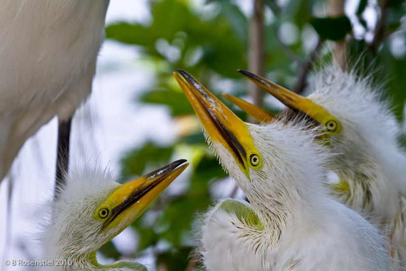 Is it Dinner?<br /> Great Egret, Gatorland, FL, 2010