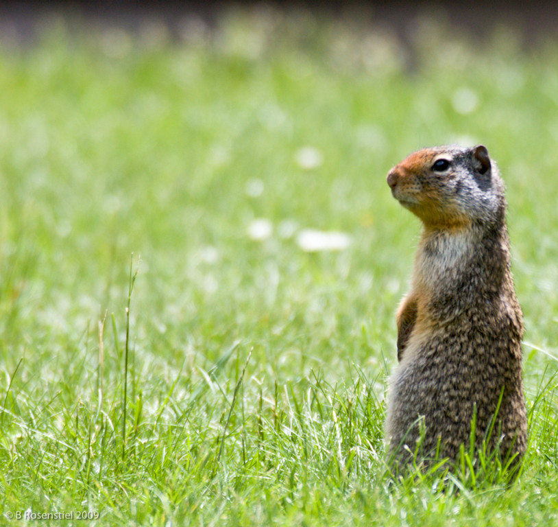 Columbia Ground Squirrel, West Glacier NP, Montana, 2006