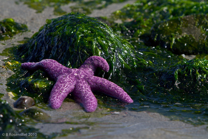 Exhausted Sea Star<br /> Tide pool, Campbell River, Vancouver Island, 2010
