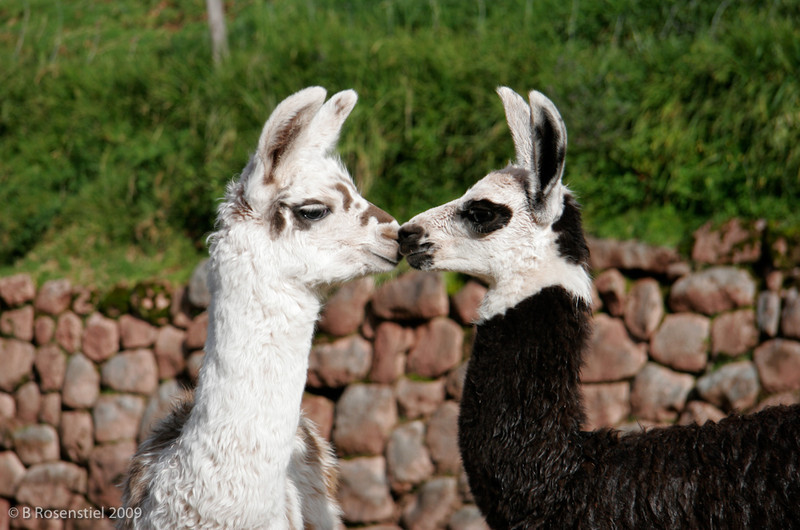 Alpaca Kissing, Andes, Peru, 2007