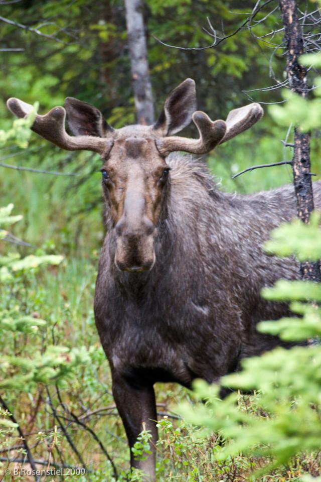 Bull Moose III,  Banff NP, Alberta, Canada, 2006