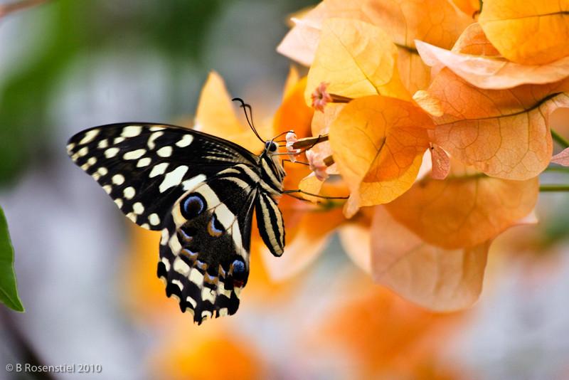 Cirus Swallowtail, Windhoek, Namibia, 2008
